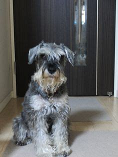 Do Schnauzer Dogs Shed Hair by 1000 Images About I Schnauzers On