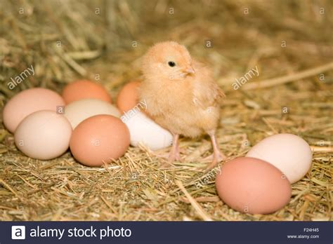 buff orpington egg color buff orpington standing beside eggs of various