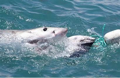 Shark Sharks Gifs Channel Week Discovery Sea