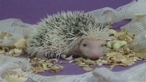 Baby African Pygmy Hedgehog Makes His First Steps - YouTube