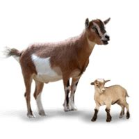 baby goat  called  kid picture baby animals learning