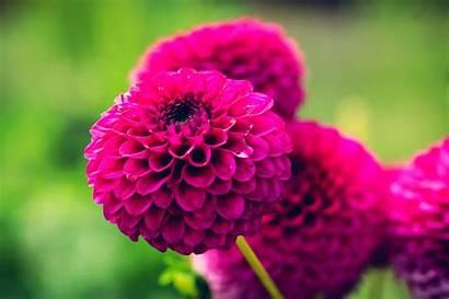 Dahlia Flower Wallpapers Flowers Dark Purple Garden