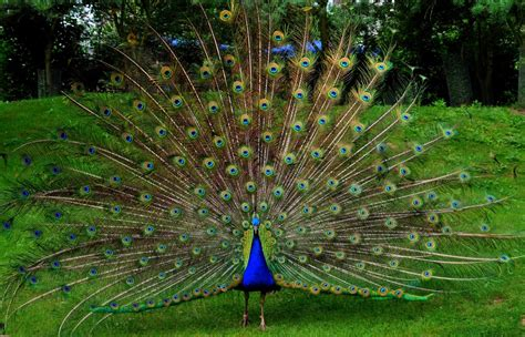 peacock wallpaper  background image  id