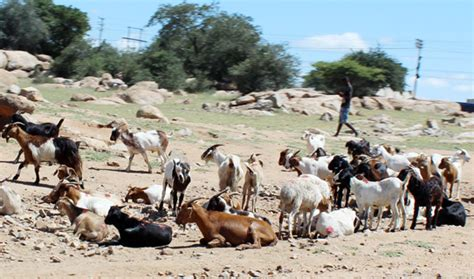 Livestock Breeders Wary Of New Levy
