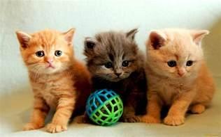 kitty cat kitty cat kitty cat wallpapers wallpaper cave