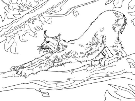 stretching canada lynx coloring page supercoloringcom