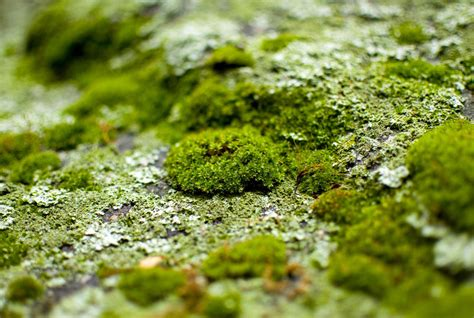 grow moss on rocks how can i get moss to grow in my garden