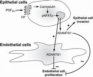 Schematic Diagram Representing The Role Of Adamts1 In E