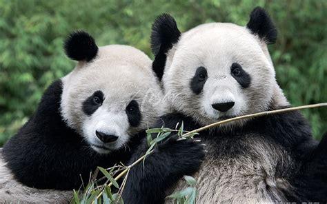 la ternura de  ositos panda bebes rapidiario