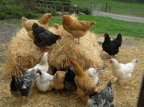 Why Raise Chickens In Your Backyard? The Many Reasons