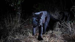 Africa's Black Panthers Emerge From the Shadows - The New ...  Black