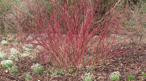 planting a dogwood dogwood willows adding colour to your garden