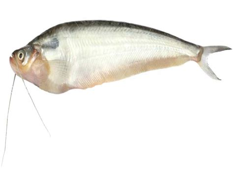 pabda fish characteristics    information