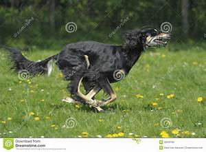 Sighthound Saluki - Lure Coursing Royalty Free Stock Photo ...