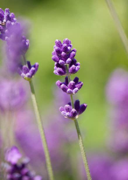 lavender flower close   stock photo public domain