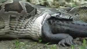 Résultat d'images pour Le python birman avale crocodil