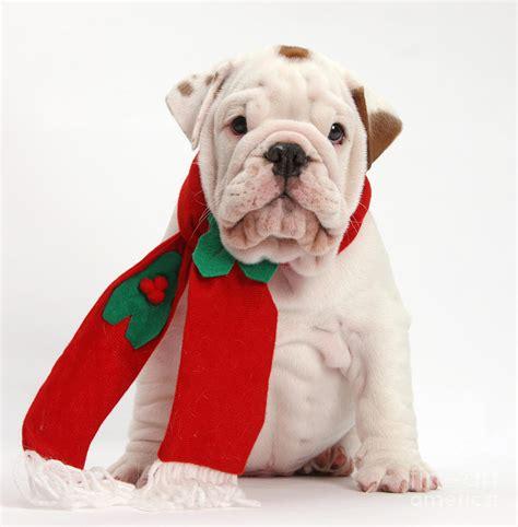 bulldog puppy wearing santa hat photograph by mark taylor