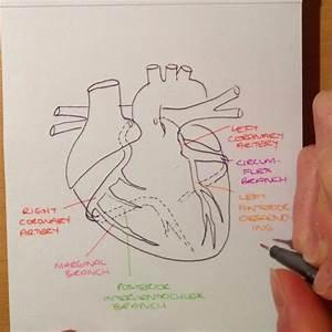 Speedy Guide To The Anatomy Of The Coronary Arteries