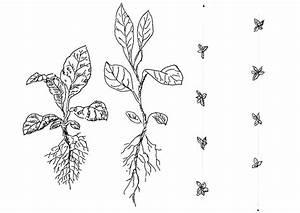 Tabak Selber Anbauen : tabak selber anbauen pflanzung und pflegearbeiten pflanzabstand dreiecksverband ~ Frokenaadalensverden.com Haus und Dekorationen