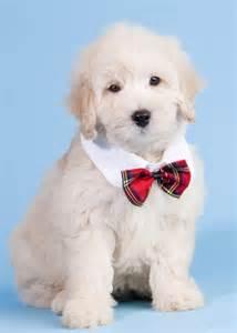 Cute Teddy Bear Puppies