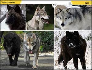 11 Dogs That Look Like Wolves   Tamaskan dog, Dog breeds, Dogs