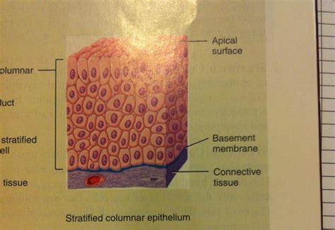 Flashcards Chapter 4 Epithelium Apical Surface Studyblue