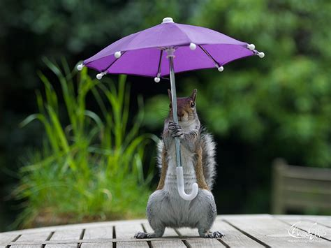 photographer gives squirrel an umbrella to protect itself
