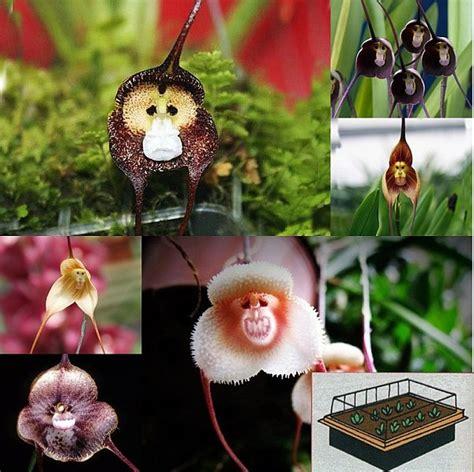orchideen aus samen ziehen 3 teiliges set mini gew 228 chshaus 10 affengesicht orchideen