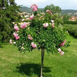 Support Pour Rosier Grimpant : tuteur pour rosier tige plantes et jardins ~ Premium-room.com Idées de Décoration