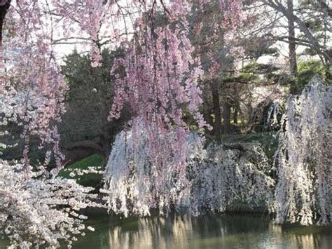 weeping cherry tree losing leaves 9 best where i grew up in pa images on pinterest pennsylvania coal miners and old photos