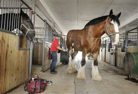 draft horses horse gentle giants rescue clydesdale slaughter charity saving
