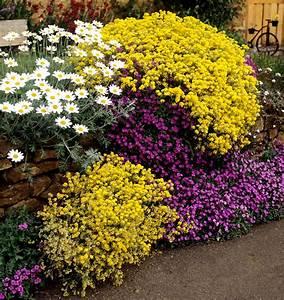 alysse planter et cultiver ooreka With modeles de rocailles jardin 7 achillee planter et cultiver ooreka
