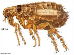 cat flea flea information page united exterminating company