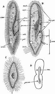 Paramoecium Caudatum