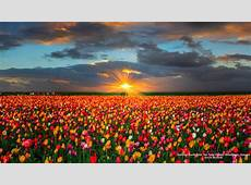 Tulip Fields Wallpapers for Desktop 40 Handpicked