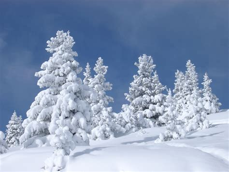 attractive fir trees covered with snow during winter