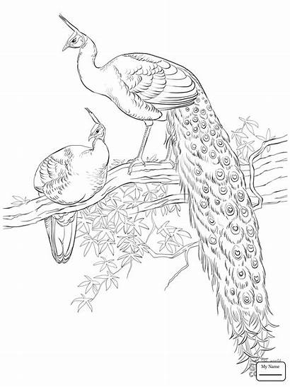 Coloring Peacock Pages Peacocks Printable Drawing Java