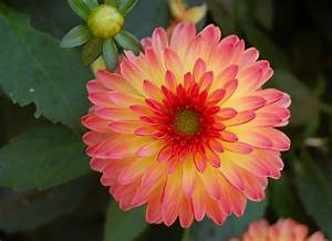 Proudly Dahlia – Start An Easy Spring Flower To Decor Your