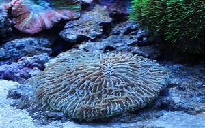 Plate Corals - Reef Aquarium