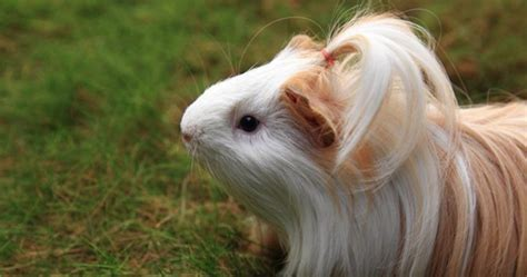Silkie Guinea Pigs: 9 Great Hairdos That You'll Be Jealous Of