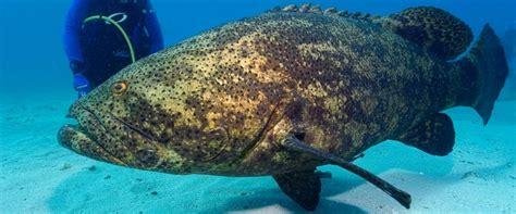 grouper goliath giant fish shark endangered massive dangerous bite diver species single most jewfish key largo ocean atlantic snatches