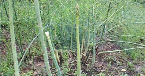 tanaman hias asparagus nama tanaman