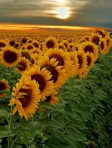 Sunflower, Garden, Design, 6, U2013, Decoredo
