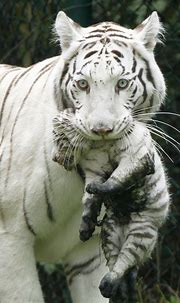 White Tiger | HD Wallpapers (High Definition) | Free ...