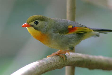 Riproduzione Canarini In Gabbia - cardinale rosso e usignolo giappone piccoli uccelli