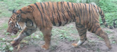 'Hong Kong's lost tigers show us a species once gone ...