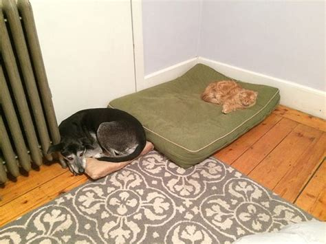 Funny Cat Steals Dogs Bed Luvbat