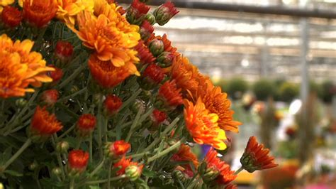 planting chrysanthemums in the fall video mums the word as gardeners plant for fall watch njtv news online wisconsin public