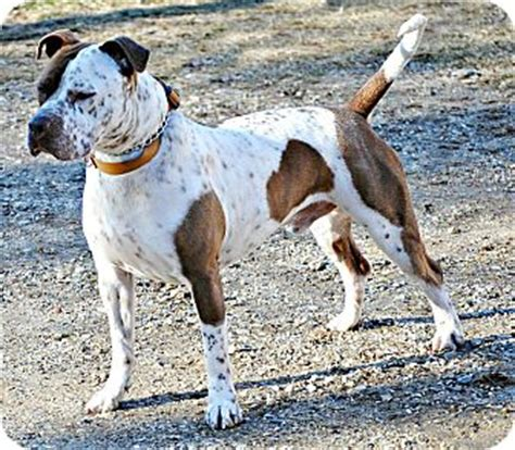 do bluetick coonhounds shed ready for adoption pit bull terrier bluetick coonhound