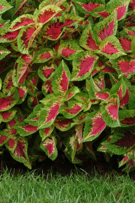 coleus cultivars new coleus varieties bing images